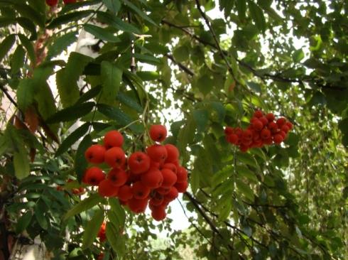Что нужно знать о сушке плодов шиповника на зиму